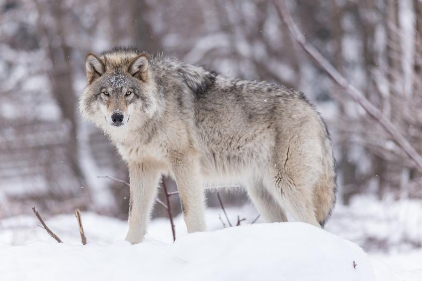 Vall e des merveilles hiver weekends et journ es raquettes neige - Image de loup a imprimer ...